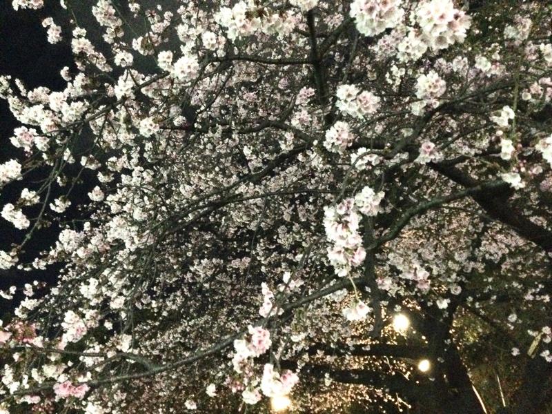 上野公園の桜🌸